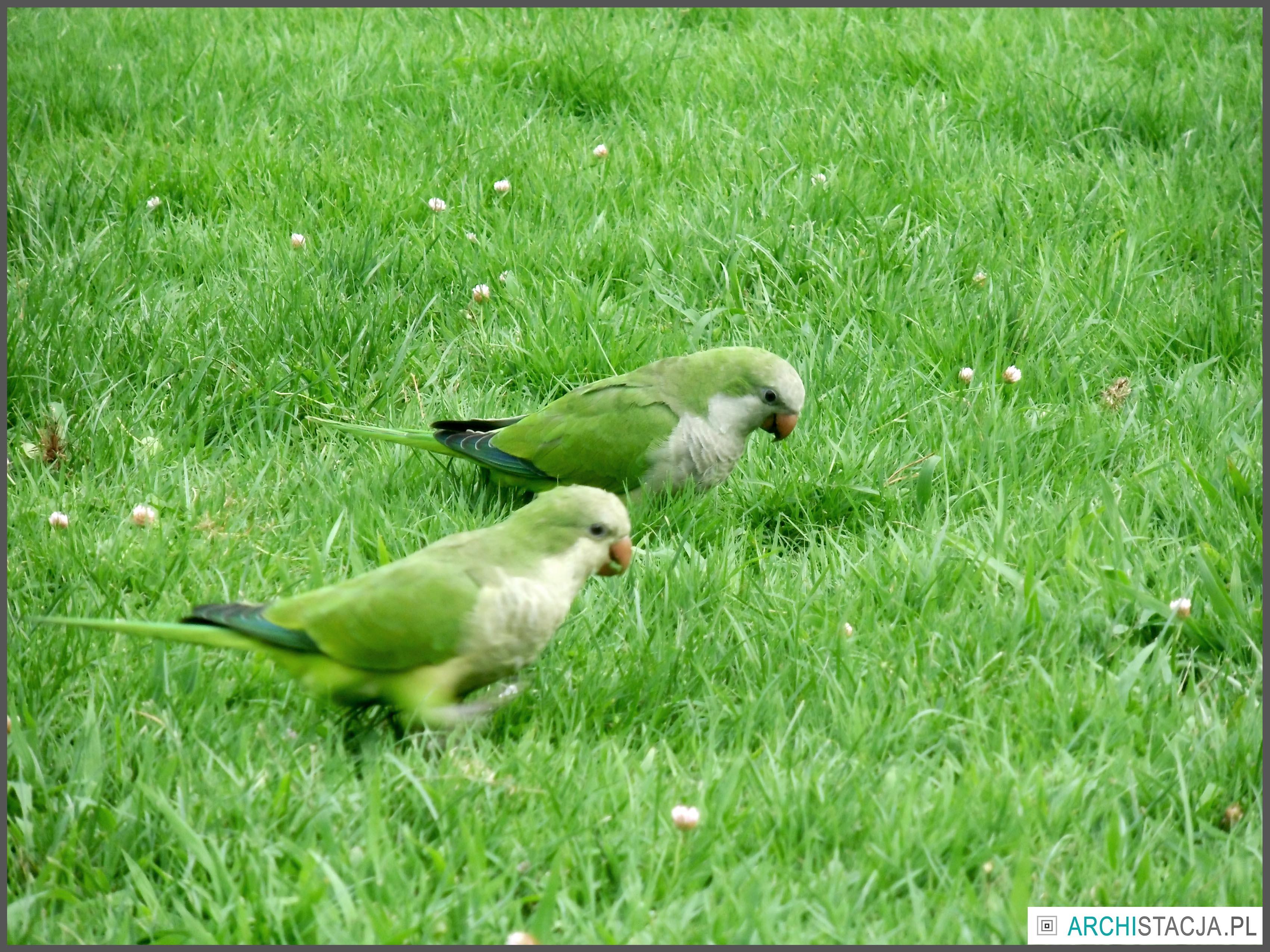 papużki na trawie